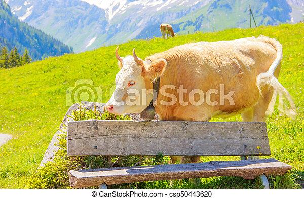 Ein Ochse, der hinter der Holzbank im ländlichen Berggebiet steht - csp50443620