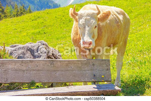 stehende , berg, wiese, bereich, holzbank, feld, hinten, ochse, ländlich, gras - csp50388504