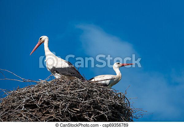 stehende , blauer himmel, paar, wenn, wetter, störche, nest, nett - csp69356789