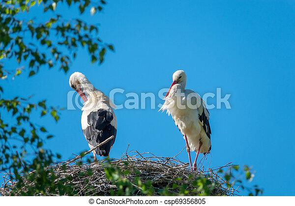 stehende , blauer himmel, paar, wenn, wetter, störche, nest, nett - csp69356805