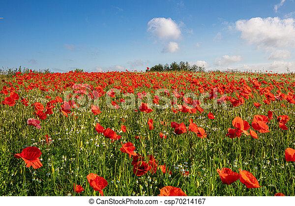 Es stehen Tausende roter Mohn auf einer Wiese, die Sonne scheint und es gibt weiße Wolken am blauen Himmel - csp70214167