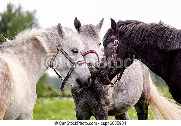 Drei graue Ponys stehen in der Nähe - csp46035984