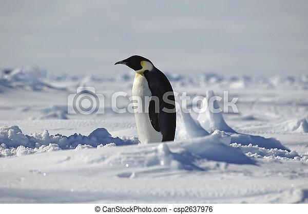 stehende , pinguin - csp2637976