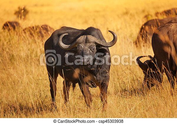 Mann auf Büffel