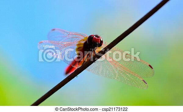 Stehende , worm\'s, draht, auge, libelle, schwanz, rotes , ansicht ...