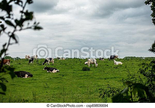 steht, bewölkter himmel, herde, schwarz, kühe, grün weiß, wiese - csp69806694