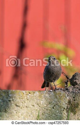 steht, redstart, ledig, fotoapperat, aussehen, klein, vogel, kleingarten - csp47257593