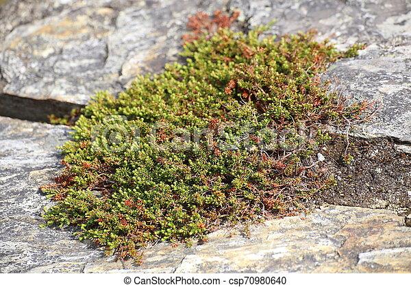 Empetrum Nigrum, die Krähe, wächst zwischen Stein - csp70980640