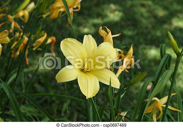 stella, oro, daylily - csp0697469