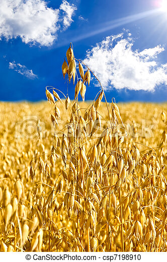 Stem oats against the blue sky - csp7198910