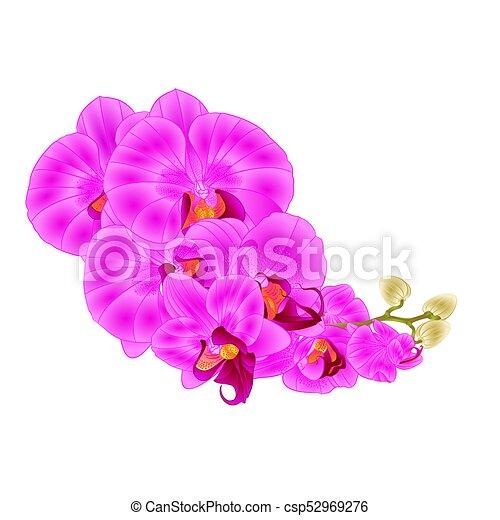 Stem Orchids Purple Flowers Phalaenopsis Vector Stem Orchids