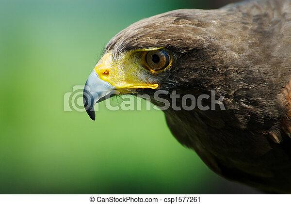 steppe eagle - csp1577261