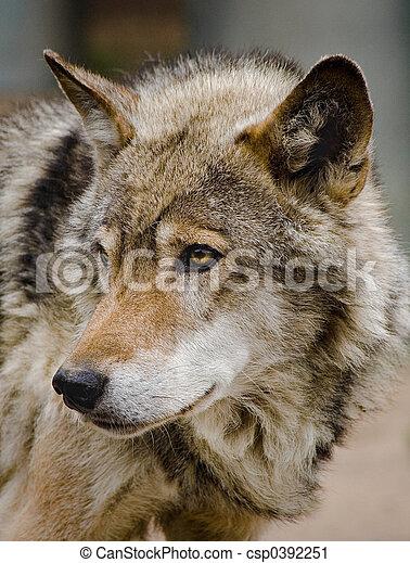 Steppe Wolf - csp0392251