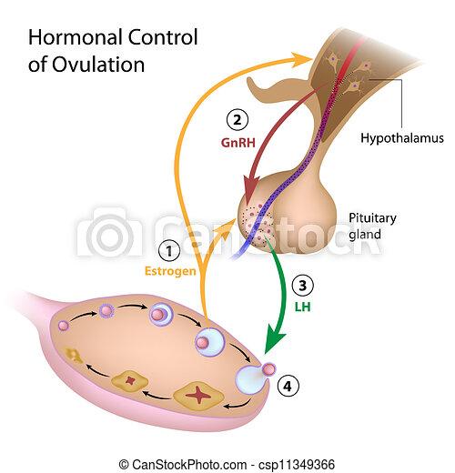 steuerung, hormonal, ovulation - csp11349366