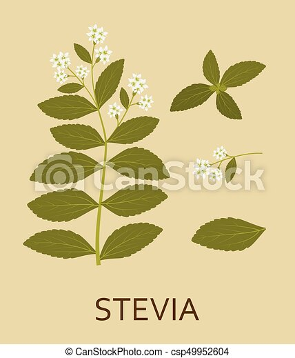Stevia plant with leaves and pods - csp49952604