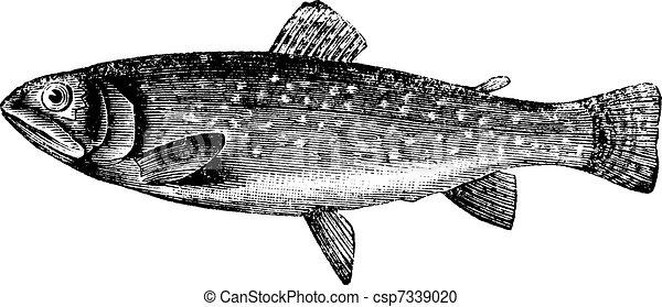 Braune Forelle oder Salmo trutta, klassische Gravur - csp7339020
