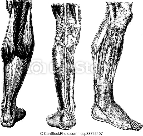 Stich, weinlese, bein, menschliche . Vorhergehend, (middle), bein ...
