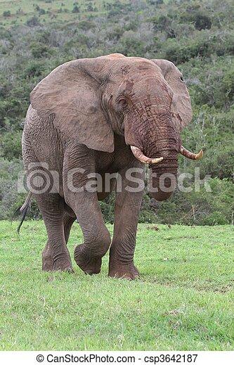 stier, afrikaanse olifant - csp3642187
