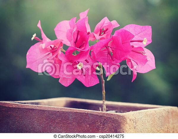 stil, gammal, årgång, bougainvillea, retro blommar - csp20414275