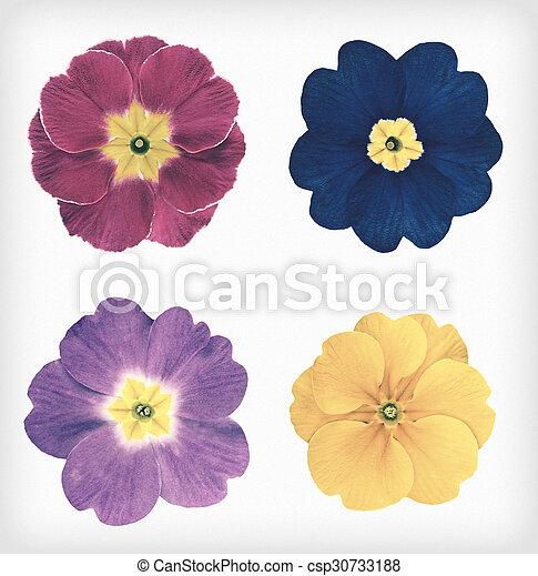 stil, vild primula, årgång, isolerat, fyra, retro blommar - csp30733188