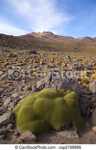Stone like plant in the altiplano in north Chile, near the border with Bolivia, near San Pedro de Atacama - csp2168896
