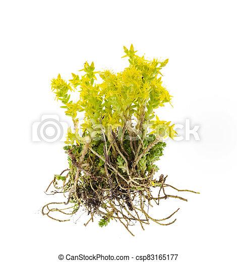 stonecrop, foto, gelber , kleingarten, groundcover, pflanze, seddum. - csp83165177