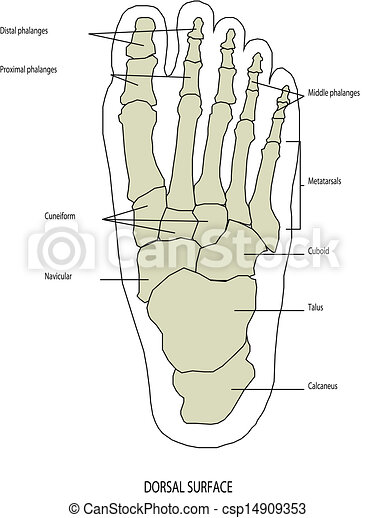 stopa, anatomia, noga, ludzki - csp14909353