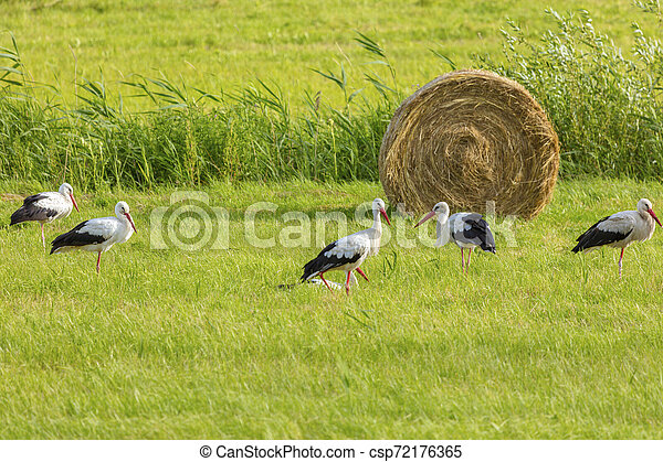 Storks on the field - csp72176365