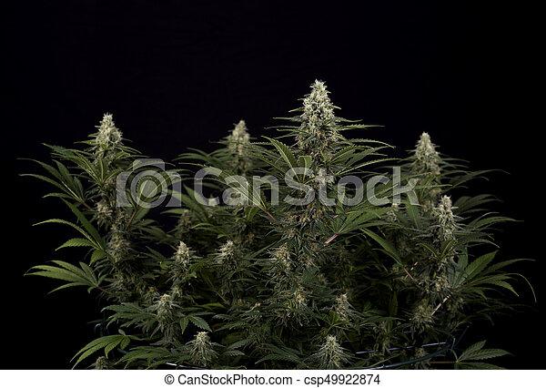 strain), hojas, trichomes, marijuana, (black, cannabis, ruso, florecimiento, cola, etapa - csp49922874