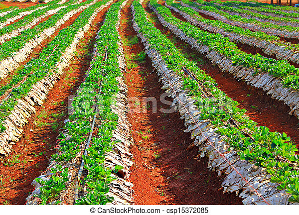 strawberries farm - csp15372085