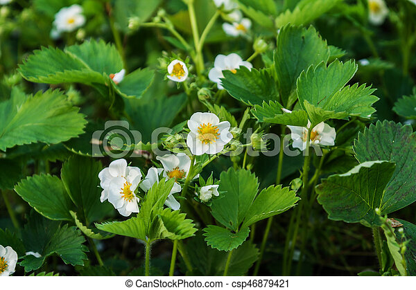 Strawberry flowers on the field grow on a sunny day - csp46879421