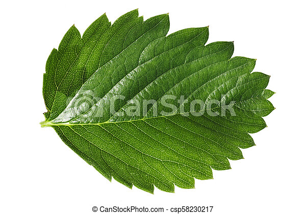 strawberry leaf isolated on white background. the texture of the leaf and streaks is clearly visible. clipping path - csp58230217