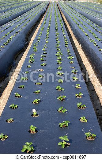 Strawberry Starts # - csp0011897