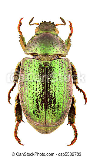 strigidia, espécie - csp5532783