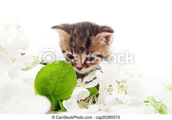 striped kitten and a blossoming apple tree branch on a white bac - csp20280574