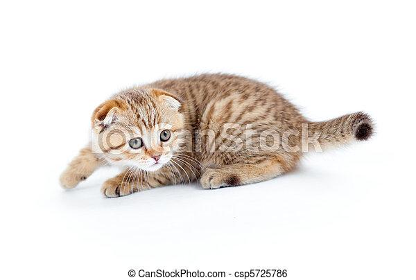 Striped Scottish kitten fold pure breed stalking isolated - csp5725786