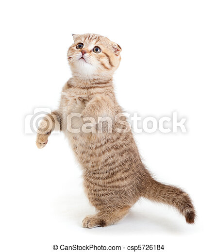 Striped Scottish kitten fold pure breed dancing isolated - csp5726184