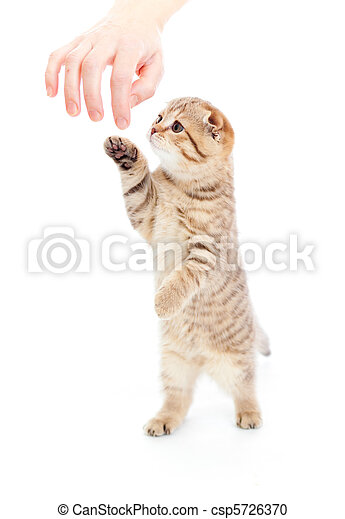 Striped Scottish kitten fold pure breed standing isolated - csp5726370