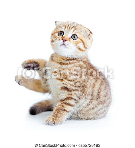 Striped Scottish kitten fold pure breed sitting isolated - csp5726193