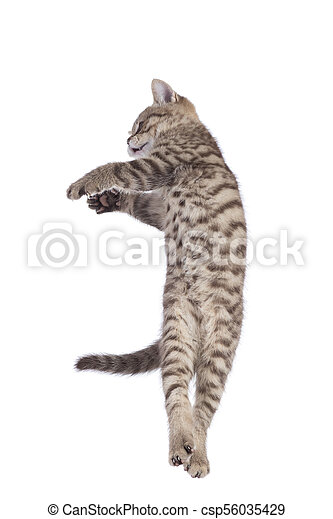 Striped Scottish kitten pure breed jumping isolated - csp56035429
