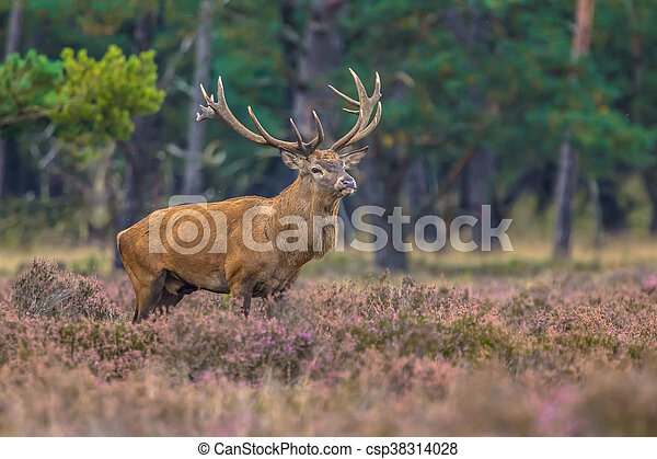 Strong male Red deer in field of Heather - csp38314028