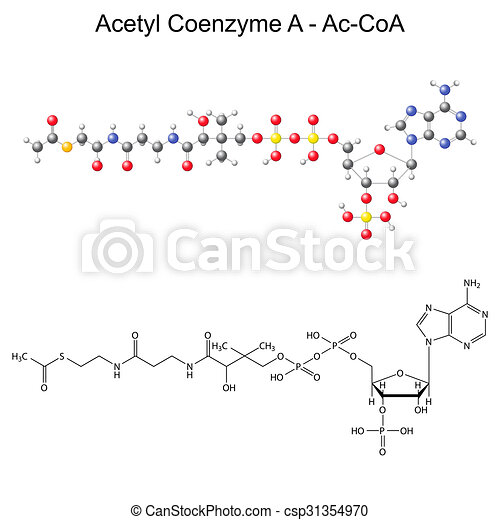 Structural chemical formula and model of Acetyl Coenzyme-A  - csp31354970