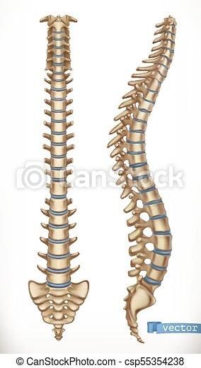 Structure., esqueleto, espina dorsal, vector, humano,... vectores ...