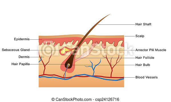 Anatomy Of Tooth Labelled Diagram Of The Structure Of Tooth