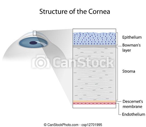 Structure of human cornea, eps10 - csp12701995