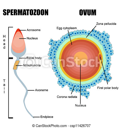 Structure Of Human Gametes Egg And Sperm