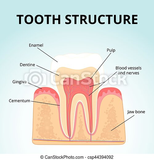 Structure Of Human Teeth Medical Diagram Of The Structure Of The