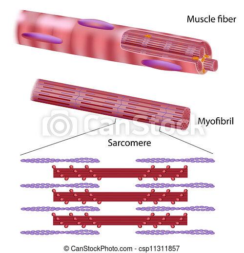Structure of skeletal muscle fiber - csp11311857