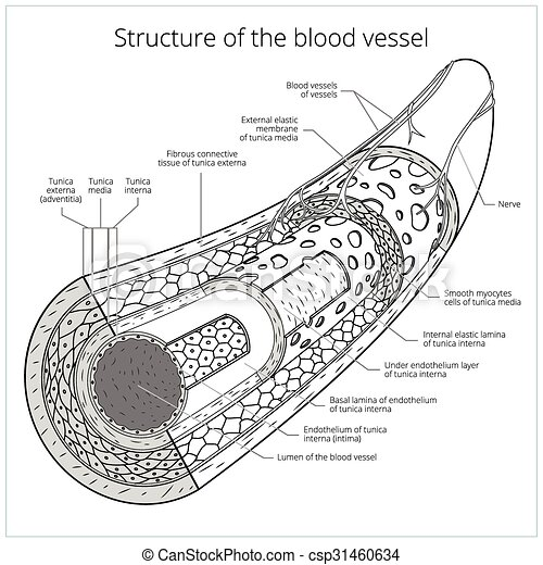 structure of the blood vessel medical vector  structure of