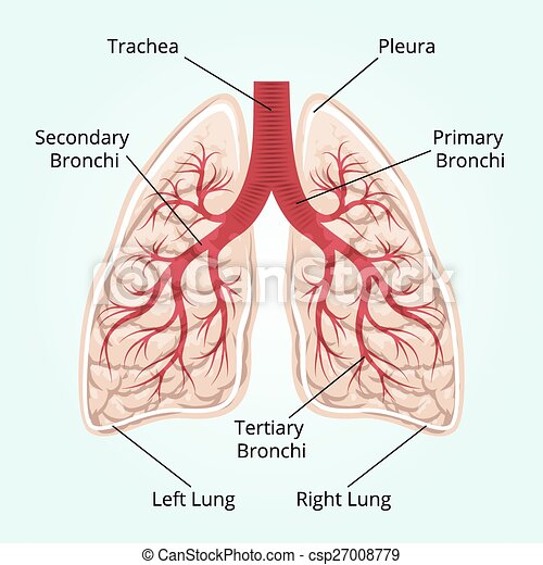 structure of the lungs - csp27008779